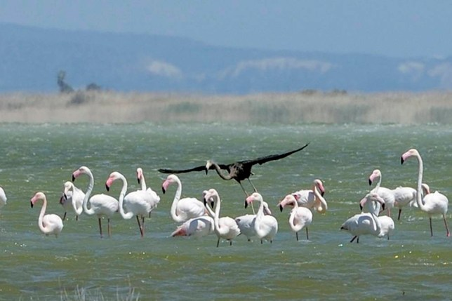 A rare black flamingo, fly in sharp contrast among the other flamingos, is seen at a salt lake at the Akrotiri area near costal city of Limassol, Cyprus, Thursday April 9, 2015. Flamingos taking a break on this east Mediterranean island from their trek back to summer breeding grounds are welcome sight to bird enthusiasts and ordinary folks alike. Martin Hellicar, with the conservation group BirdLife Cyprus said that although black flamingos arenít all that unusual around the world, itís the first time that one has been spotted in Cyprus in recent memory. (AP Photo/Pavlos Vrionides)