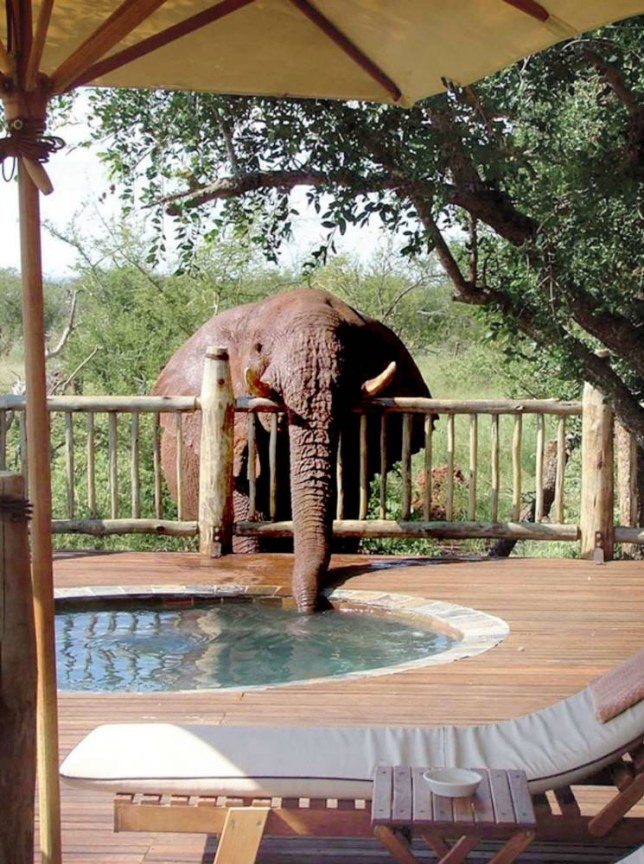 PIC BY ETALI SAFARI LODGE/ CATERS NEWS - (PICTURED: The cheeky Elephant drinking from the hot tub) - A cheeky elephant is caught red handed as he sneaks in to grab a drink from a holiday resorts swimming pool. The African elephant - nicknamed troublesome thanks to his naughty behaviour - regular sneaks into the ground of the Etali Safari Lodge in South Africa for a refreshment. Staff say he has made regular pilgrimages to the pool over the past four years - to the delight of guests. During his most recent attempt to cool off from the searing South African heat, Troublesome was pictured and videod as he casually walked past a communal area. SEE CATERS COPY.