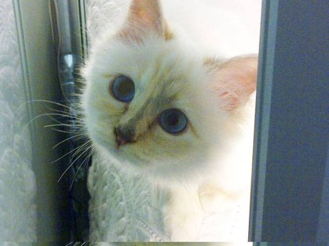 Karl Lagerfeld's CAT earns more than you: Choupette makes £2million a year