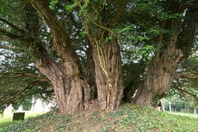 Britain's oldest tree (Picture: Edward Parker/Woodland Trust)