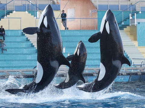 Seaworld accused of keeping killer whales in 'chemical tubs' and 'painting over injuries'