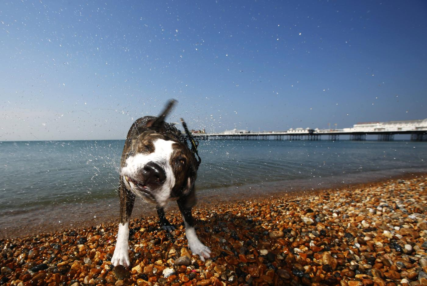 Tosta, a Staffordshire bull terrier cross, shakes off water after a swim in the sea during the hot summer weather by Brighton pier in southern England