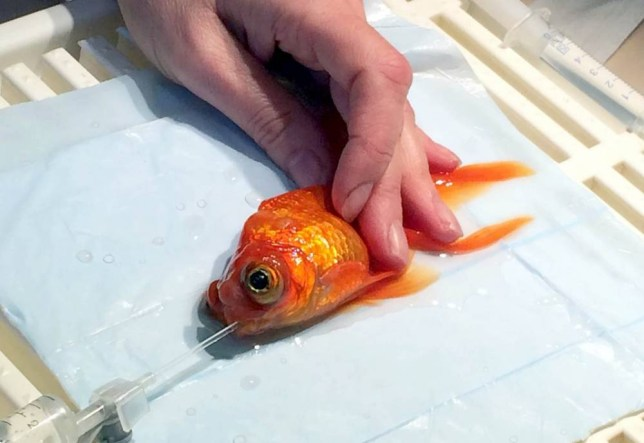 This is the incredible moment a goldfish went under the knife to have a tumour removed - from behind its eye.  See SWNS story SWFISH.  Monty, a beloved five-year-old family pet, had multiple tumours behind its left eye which had spread through its back.  A team of vets from Highcroft Veterinary Group and Bristol Zoo carried out the 45-minute operation, which saw the tiny fish placed in water soluble anaesthetic.  Throughout the £200 operation, it had oxygenated water flushed through its gills and eye.  The fish, which lost an eye in the operation, is now back at home in Bristol where he is recovering swimmingly.