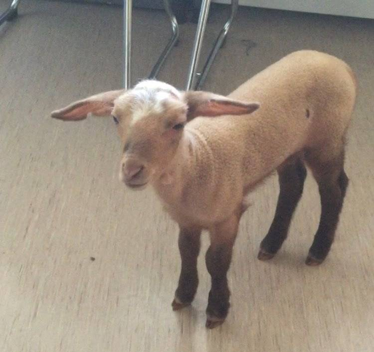 Lamb rescued from brothel after drugs bust