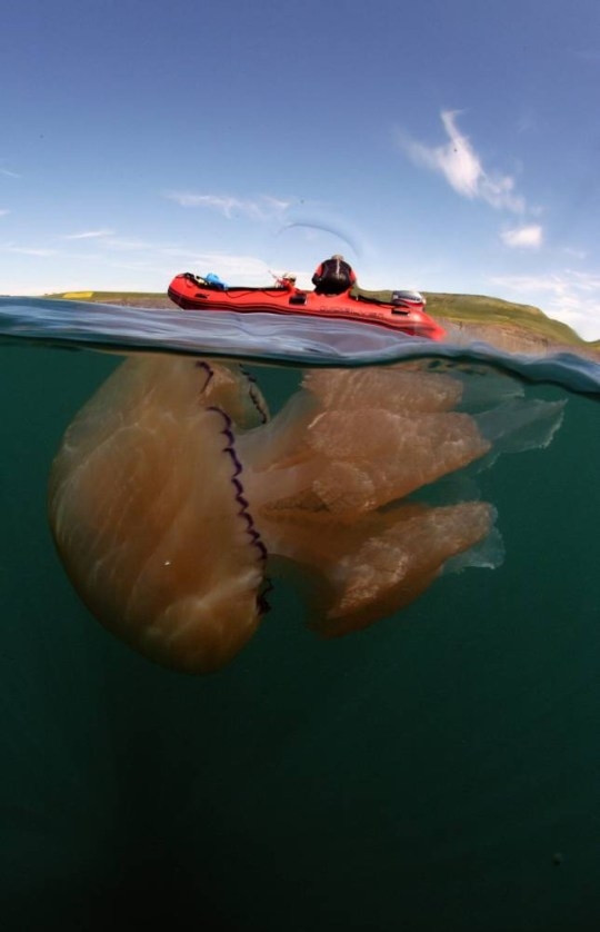 A photographer captured these stunning pictures of enormous jellyfish as record numbers swarm to the UK coast. See SWNS story SWJELLY; Conservationist Steve Trewhella [CRRCT] set off from Kimmeridge in Dorset in his dive boat in the hope of finding a single barrel jellyfish to show grandson Finn Hatcher, ten. Last year he was delighted when he spotted two and hoped he would be lucky enough to find a couple again when he returned to the same spot on Saturday. But he was astonished when he discovered the waters a mile off shore filled with the five-foot long creatures and said he swam among more than 100. Steve, 51, who has been taking underwater photographs for more than 30 years, said he had never seen so many.