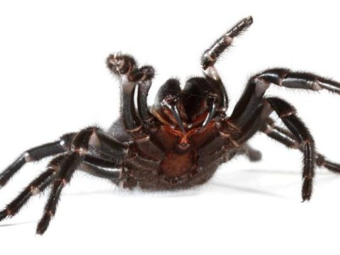 People are being asked to catch spiders that kill rather than run away