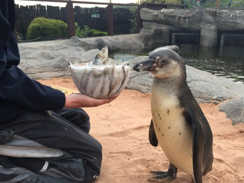 Penguin gets an iced sardine cake to celebrate being able to walk properly