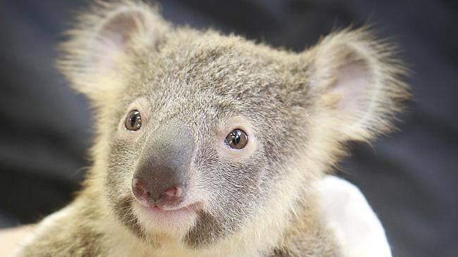 koala Lizzy and Phantom Australia Zoo