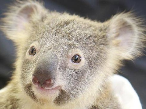 Scientists accidentally discover how to cure chlamydia in koalas