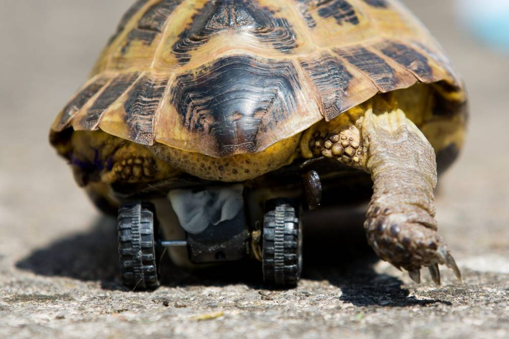 "Touche the Tortoise with his new set of wheels. A disabled tortoise has been fitted with the wheels of a Hotwheels toy car to help him scoot around after he lost a leg. See swns story SWWHEEL. Eight-year-old Touche had a back leg amputated after an accident at home last week which left him limping. But a creative vet at Highcroft Vetinary Hospital in Whitchurch, Bristol decided to use a special resin and fix the base of a little toy car to the underside of Touche's shell to help him get back to his old self. The surgery took an hour and a half to complete and was a ""complete success"", with little Touche seemingly un-phased by his new prosthetic."