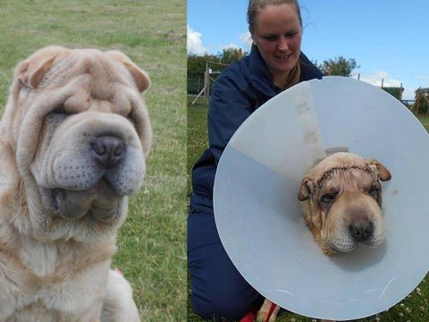 This dog had a facelift after almost becoming deaf and blind