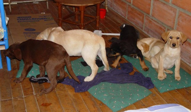 In this 2005 photo released by the United States Drug Enforcement Administration Wednesday, Feb. 1, 2006, five of the ten puppies who were used by Colombian drug Traffickers as canine drug mules are shown in Colombia. The ten puppies, including Labrador retrievers, were rescued during a recent raid on a laboratory in Colombia where authorities claim that they were being surgically implanted with packets of liquid heroin and transported to the United States, federal authorities said Wednesday. (AP Photo/DEA)