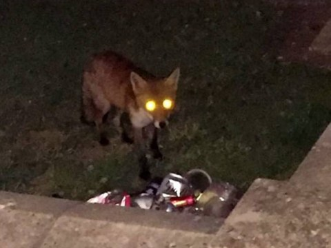 Fox turns the tables on humans by hunting eight of them