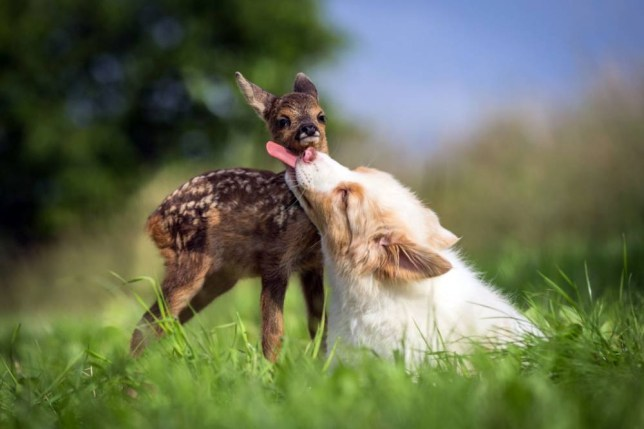 PIC FROM ANNA AUERBACH / CATERS NEWS - (PICTURED: Hansi the fawn being loved affectionately by Lia the Australian Shepherd Puppy photographed by Anna Auerback) These are the heart-warming images which show an unlikely friendship between a dog and an orphaned baby deer. The fawn was rescued after being found abandoned close to a Hop field by some farmers in Regensburg, Germany when it was just  one-week-old. The family took the baby deer into their home, where they bottle-fed him, nursed him to full health and named him Hansi. But it was the familys 12-week-old Australian Shepherd puppy Lia, who really took the fawn under her wing. Lia immediately cared for Hansi and treated him as one of her own. Now just three weeks later, the pair are inseparable and spend their days playing and cuddling up to one another. SEE CATERS COPY.