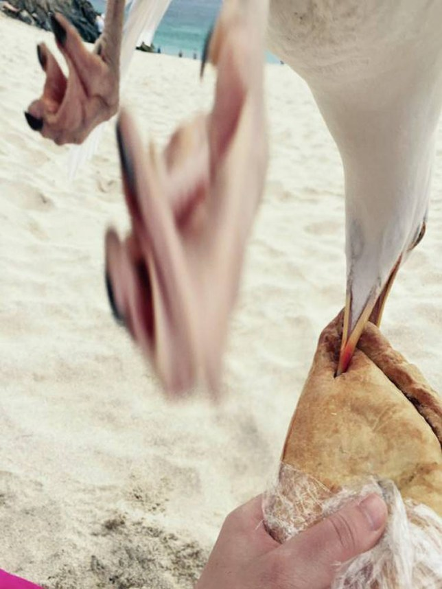 "PIC: APEX 07/07/2015 This is the moment a cheeky seagull swiped a pasty from a holidaymaker's hand in Cornwall. It happened in St Ives as Natalie from Glasgow was trying to take a beach photo to make her friends jealous. Natalie said: ""I was just about to take a photo of me eating my pasty at the beach to upload to Facebook to make my friends and family jealous and this seagull had other ideas."" The popular Cornish resort has a long standing problem with the nuisance birds. The coucil advises people not to feed the gulls, and to either avoid eating outside, or eat outside with care, as the gulls commonly swoop to snatch food. ** SEE STORY BY APEX NEWS - 01392 823144 ** ---------------------------------------------------- APEX NEWS & PICTURES NEWS DESK: 01392 823144 PICTURE DESK: 01392 823145"
