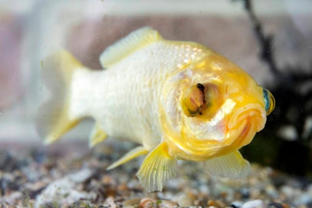 PIC BY MIKEY JONES / CATERS NEWS - (PICTURED Splash the Goldfish) - This golden oldie is preparing for his 38th birthday  possibly making it the oldest living goldfish in the world. Splash the goldfish has seen everything from Charles and Diana getting married to London 2012 but cant remember a thing - with goldfish having a memory-span of just three seconds. Splash was offishally won at a funfair in Brockworth, Gloucestershire, in 1977, and lived happily with tank-buddy Splish, before she turned up her fins two years ago. But now, Splashs owners, Richard and Ann Wright, are preparing for Splashs birthday celebrations in Brockworth, Gloucestershire, safe in the knowledge that Splash is one of the oldest living goldfish in the world. SEE CATERS COPY