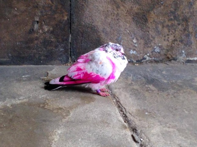 Pink pigeon flying around in Stockport | Metro News
