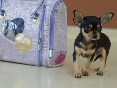 Red-manicured Chihuahua pup found abandoned in an alley inside a purple handbag