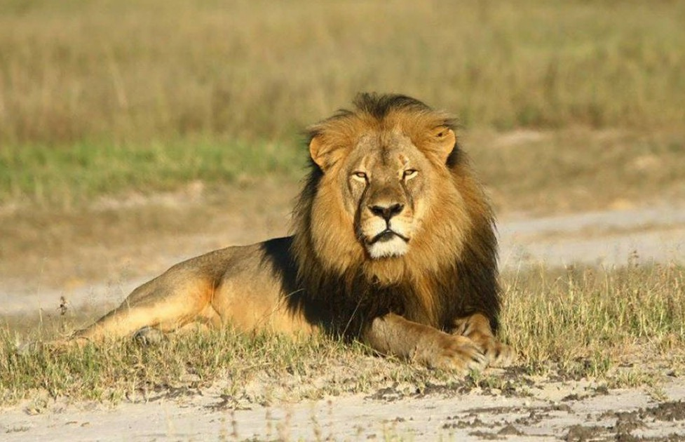 There's going to be a Cecil the lion statue, but not everyone's happy