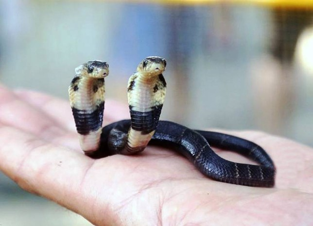 "Pic shows: The cobra with two heads. A longtime snake breeder discovered the stuff of nightmares when he found a cobra on his farm that had been born with two heads. And he said incredibly although it does not eat or drink, it is still alive and growing. Huang Pan, a snake breeder of 10 years in Yulin city of south Chinaís Guangxi region, said he found the two-headed Chinese cobra (Naja atra) when cleaning empty snake shells. The second ""head"" appears three-quarters of the way up the snakes body, with both appendages able to move independently. Mr Huang noted that he took a strong interest in the rare snake ever since it hatched, but he fears it may not live too longer as it had not eaten or drunk anything since birth. Mr Huang decided that, for the sake of the snake, he would hand the animal over to the city zoo in the provincial capital Nanning who he hopes may be able to help it. Zookeeper Li Keqi said at the time of the report: ""The snake has been alive for 10 days now and has been with us for two, during which time it has already changed its skin once."" He added: ""But despite the snakeís stable condition now, there is no way of telling whether it will be able to live on, as it still does not eat or drink water."" Polycephaly, the condition of having two heads, has been reported numerous times amongst snakes. However, most polycephalic snakes have a short lifespan, while those in captivity have reportedly lived longer, including a 'rat snake' (Colubrinae) with separate throats and stomachs that survived for 20 years. (ends)"