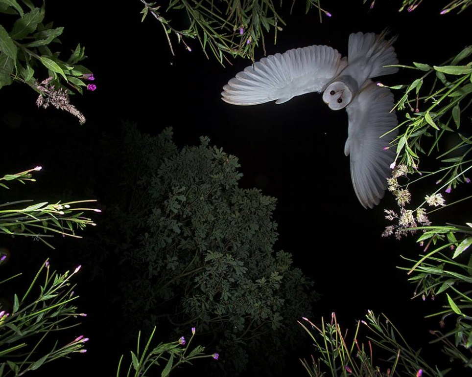 """Pictured - The picture of the barn owl taken by Roy Rimmer, 60 from Wigan. See Ross Parry copy RPYOWL. A self-taught photographer has captured a """"prey's eye view"""" of a hungry owl, on the hunt for food - after waiting TEN MONTHS for the picture opportunity. Roy Rimmer acquired a scheduled licence to shoot owls in their nest and began taking pictures of a particular owl and her babies last June. However, not satisfied with stationary owl snaps, Roy began his project to capture the bird mid-flight in November. Roy, 60, said: """"I really like how the picture turned out - it's a preys eye view from the perspective of a mouse. Roy Rimmer / Ross Parry Agency"""
