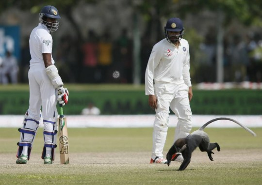 Sri Lanka's Jehan Mubarak (L) and India's Rohit Sharma watch as a monkey runs past them middle of the ground during the third day of their first test cricket match in Galle August 14, 2015. REUTERS/Dinuka Liyanawatte