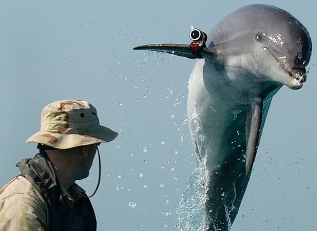 AT SEA - MARCH 18: In this U.S. Navy handout photo, Sgt. Andrew Garrett watches a bottle nose dolphin named K-Dog, from Commander Task Unit, jump out of the water March 18, 2003 at sea in the Arabian Gulf near the USS Gunston Hall. Commander Task Unit is comprised of special mine clearing teams from The United Kingdom, Australia and the U.S. (Photo by Brien Aho/U.S. Navy/Getty Images)