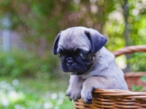 11 things only pug lovers will understand