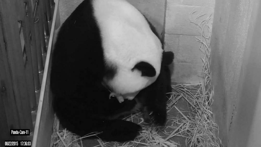 epa04893929 A handout picture made available by the Smithsonian's National Zoo on 23 August 2015 shows a screengrab of a closed-circuit television (CCTV) showing giant panda Mei Xiang holding one of her cubs after giving birth, at the National Zoo in Washington, USA, 22 August 2015. A handout picture made available by the Smithsonian's National Zoo on 23 August 2015 shows veterinarians examining a giant panda cub at the National Zoo in Washington, USA, 22 August 2015. Giant Panda bear Mei Xiang gave birth to twin cubs on 22 August 2015, at the Smithsonian National Zoo in Washington, zoo officials announced. The gender of the cubs has not yet been determined. Mei Xiang, 17, was artificially inseminated with sperm from two male pandas, one living in China and one from the National Zoo. The father of the newborns is not yet known. It will likely be four months before the cubs will venture from the den and visitors can catch a glimpse of the zoo's newest pandas. EPA/SMITHSONIAN'S NATIONAL ZOO BEST QUALITY AVAILABLE - BLACK AND WHITE HANDOUT EDITORIAL USE ONLY/NO SALES