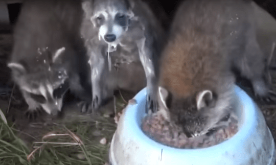 These raccoons seriously love their milk | Metro News