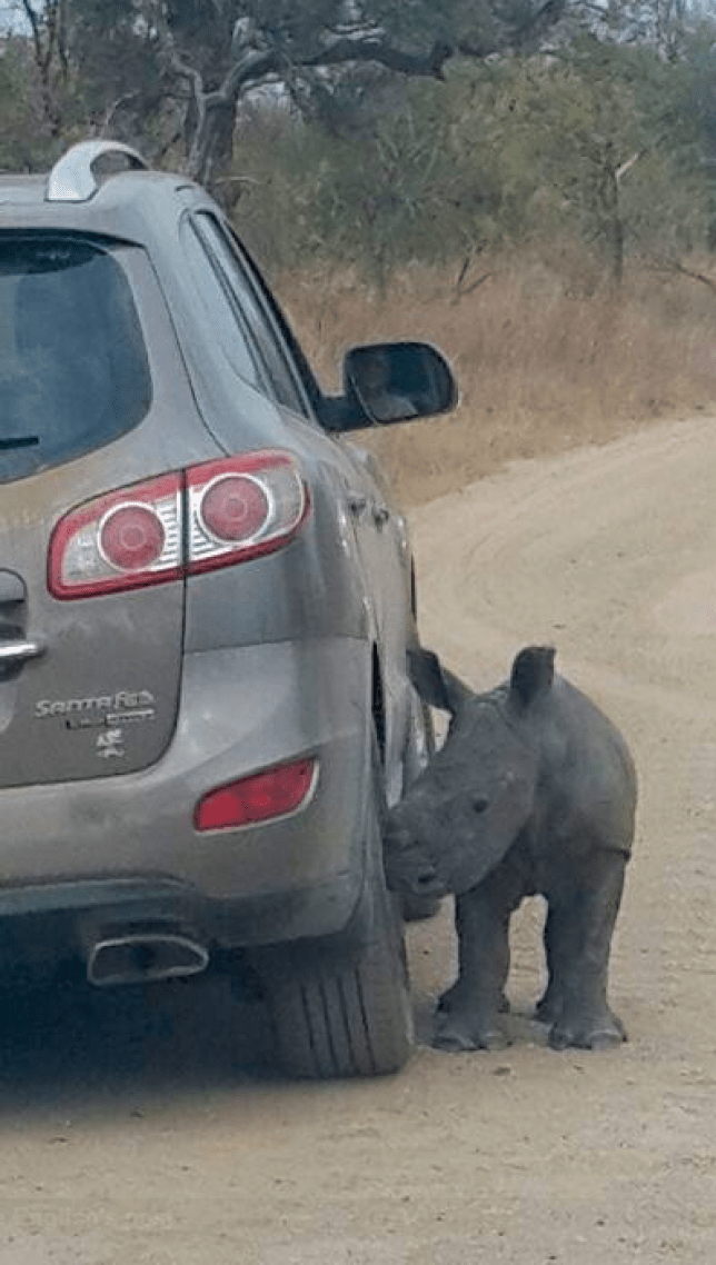 Orphaned Rhino Donnie thinks jeep is his parent after