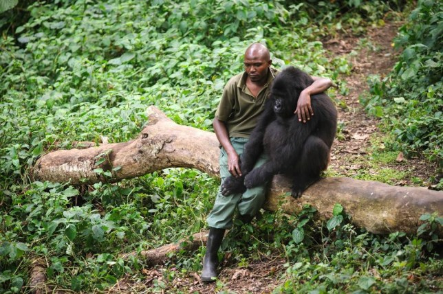 man and gorilla after death