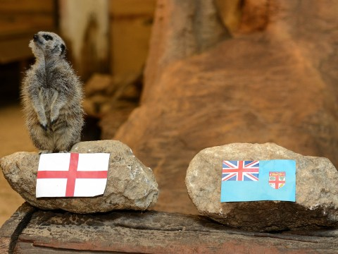 Psychic meerkats are correctly predicting Rugby World Cup 2015 results