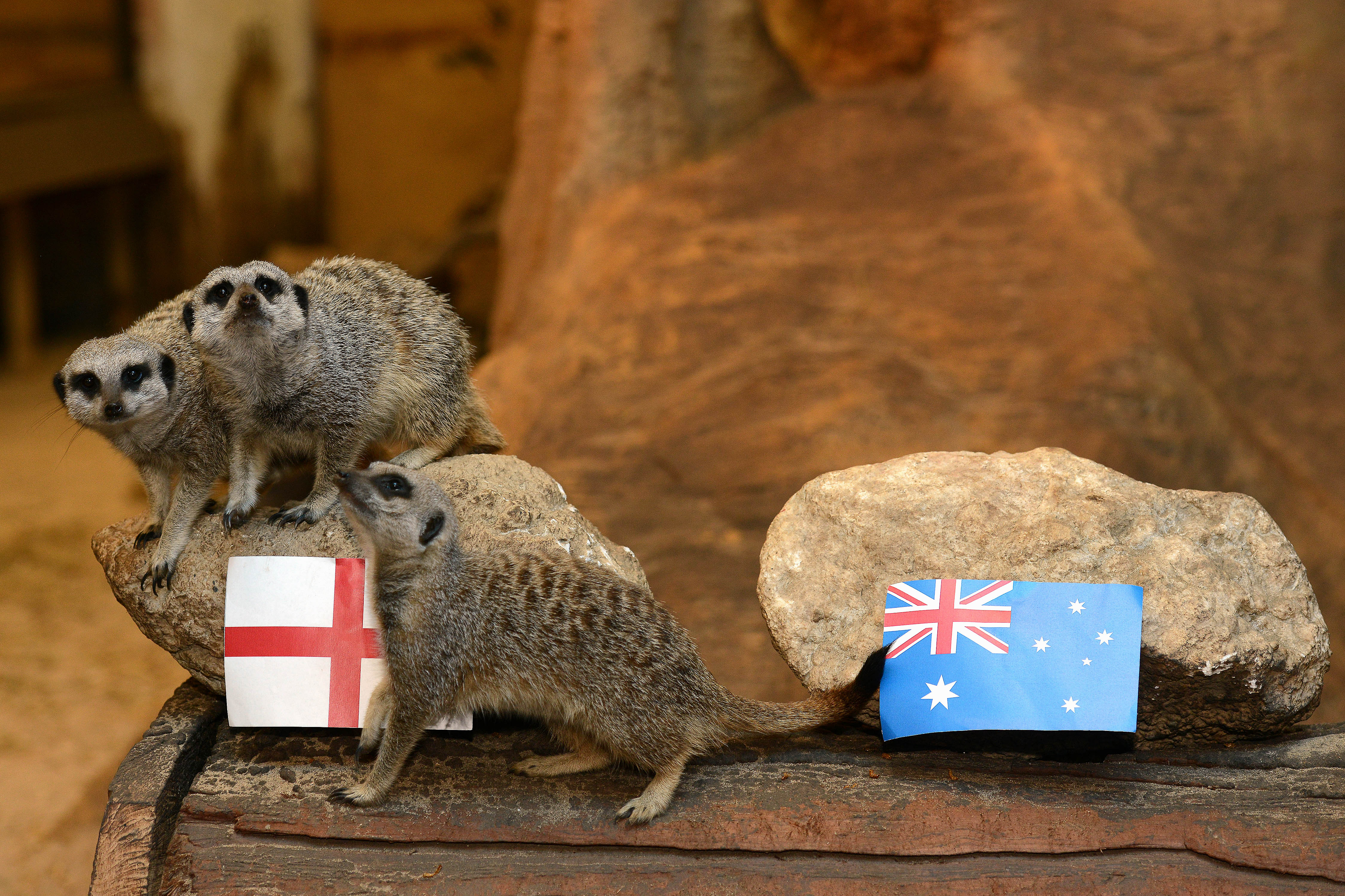 England will beat Australia and qualify for the knockout stages of the Rugby World Cup 2015, according to psychic meerkats