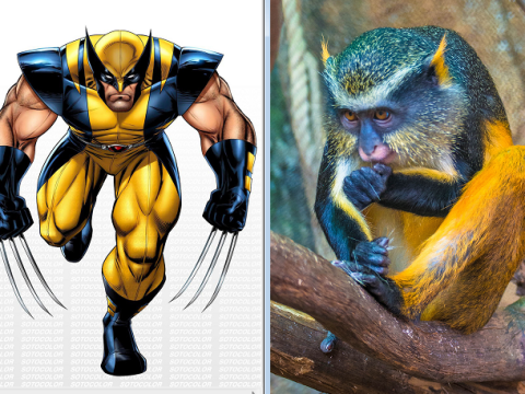 Revealed! A monkey that looks just like Wolverine