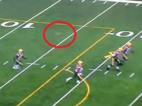 Rabbit runs length of Canadian football field during match, celebrates like it's scored a touchdown