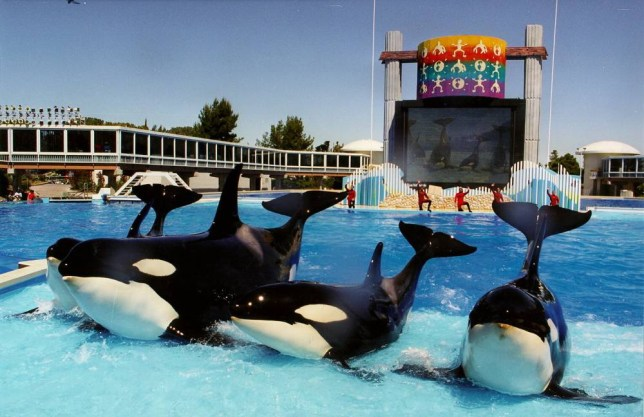 (GERMANY OUT) Sea World - Show in San Diego mit Schwertwalen : alle vier Orcas bei ihrem Auftritt - 1995 (Photo by Brigitte Hiss/ullstein bild via Getty Images)