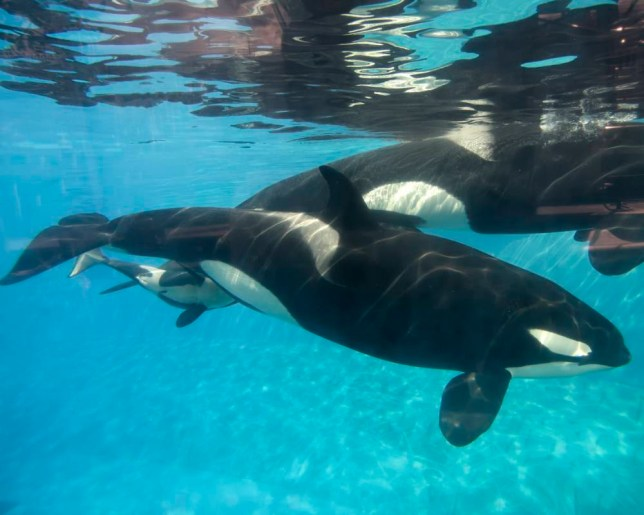 SAN DIEGO, CA - DECEMBER 02: In this handout photo provided by SeaWorld San Diego, a baby killer whale calf nurses from its mother, Kalia, at SeaWorld San Diego's Shamu Stadium December 4, 2014 in San Diego, California. Kalia's mother, Kasatka, swims beside her, as she did during Kalia's labor and delivery. Kalia gave birth to the calf at 12:34 p.m. on Tuesday, Dec. 2, under the watchful eyes of SeaWorld's zoological team. SeaWorld's zoological staff is monitoring the mom and calf round the clock, taking note of nursing, bonding and other developmental milestones. (Photo by Mike Aguilera/SeaWorld San Diego via Getty Images)