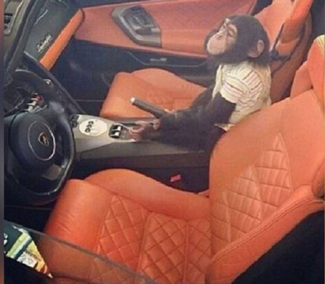 Alleged-Boots-the-Monkey-belonging-to-El-Chapo-in-a-mustang.jpg Joaquin-El-Chapo-Guzman (1).jpg El Chapo prison break: Drugs baron risked being recaptured after stopping for his pet MONKEY following escape