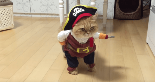 cat dressed as a pirate just won halloween