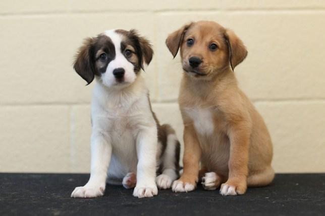 6 week old border collie puppies