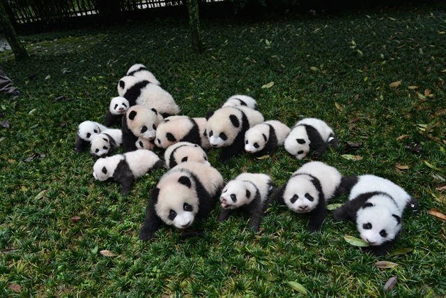(Picture: China's Giant Panda Protection and Research Center)