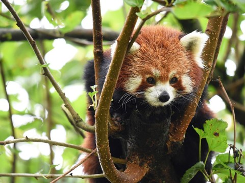 Masala the red panda has escaped from the zoo