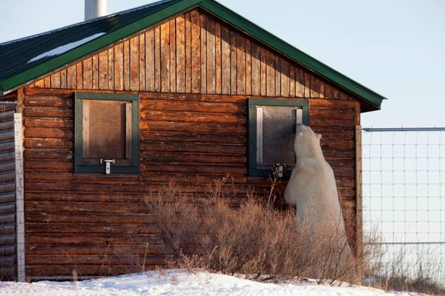 PIC FROM DAFNA BEN / CATERS NEWS - (PICTURED: The polar bear sniffs at the boarded up window of a cabin ) - You wont like me when Im angry! These incredible snaps show a grumpy polar bear getting in a strop as he goes on the hunt for his next meal. The amazing pictures were snapped in Manitoba, in arctic Canada, in a camp only accessible by air right in the polar bear wilderness. The hangry polar bear was stalking out a tasty treat for his next meal and his nose led him straight to the snowy camp towards the delicious grub. SEE CATERS COPY.