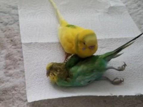 Heartbroken bird won't leave the side of her dead friend