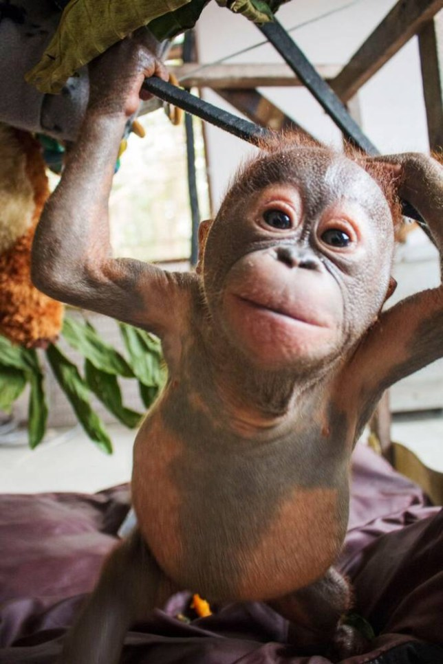 """Undated handout photo issued by International Animal Rescue baby orangutan Gito showing strong signs of recovery as he was rescued by the charity after being left to die in a cardboard box in Borneo. PRESS ASSOCIATION Photo. Issue date: Thursday November 26, 2015. Rescuers said the baby ape's appearance is now """"beyond recognition"""" after he was found so lifeless that at first they thought he was dead. Lying corpse-like with his arms folded across his chest, his grey flaking skin and lack of hair made him look """"almost mummified"""" in his urine-soaked box. See PA story ANIMALS Orangutan. Photo credit should read: International Animal Rescue /PA Wire NOTE TO EDITORS: This handout photo may only be used in for editorial reporting purposes for the contemporaneous illustration of events, things or the people in the image or facts mentioned in the caption. Reuse of the picture may require further permission from the copyright holder."""