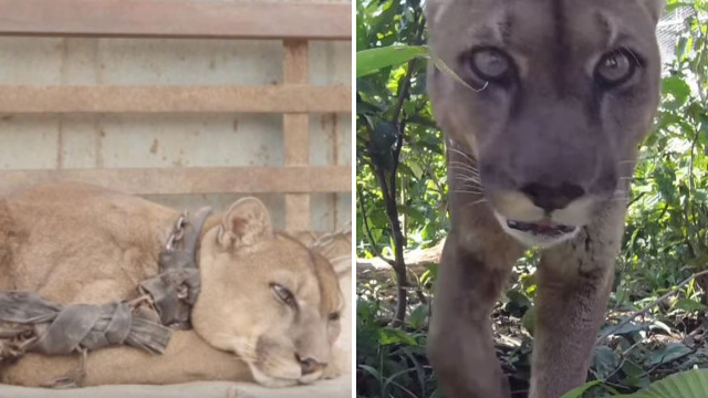 Mountain lion set free after 20 years chained up in travelling circus