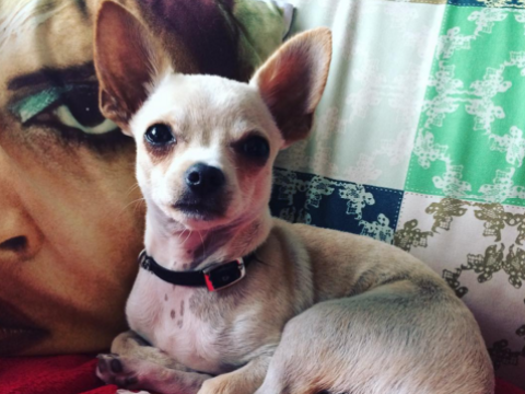 10 things you only know if you own a chihuahua