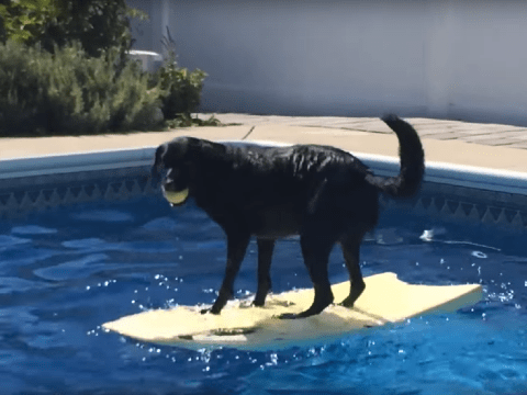Labrador surfs to get tennis ball in the middle of the pool