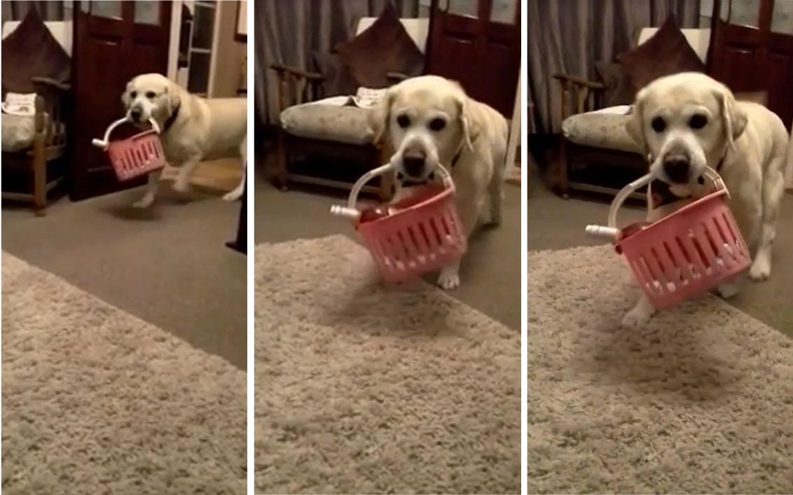 Dog delivering wine